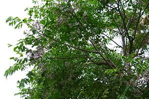 Alberi e arbusti vivai michelinivivai michelini for Vivaio alberi