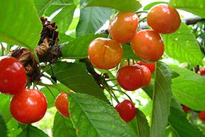 Piante frutto vivai michelinivivai michelini for Alberi da frutta in vaso