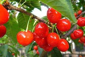 Piante frutto vivai michelinivivai michelini for Vivaio alberi