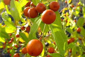 piante frutto vivai michelinivivai michelini