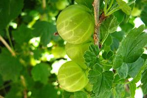 Piante frutto vivai michelinivivai michelini for Piccoli alberi da frutto