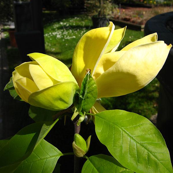 magnolia-daphne-vivai-michelini